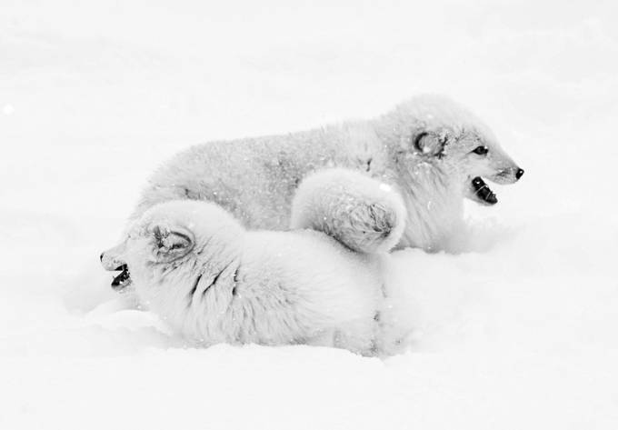 Arctic wolves playing in the snow, Triple D Ranch by Mtheil - Small Wildlife Photo Contest