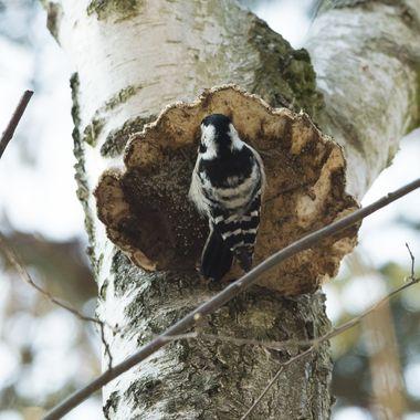 Lesser spotted woodpecker - female (Dryobates minor)