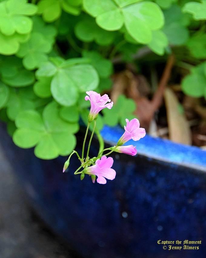 Shamrocks in Bloom