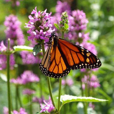 Monarch in Summer