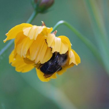 In the evenings a bee will tuck up into a flower if they can t make it back to the hive.