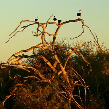 African birds,