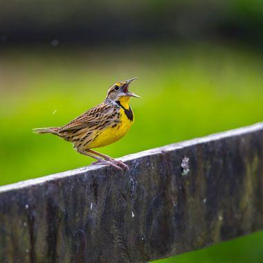 Eastern Meadowlark-1018