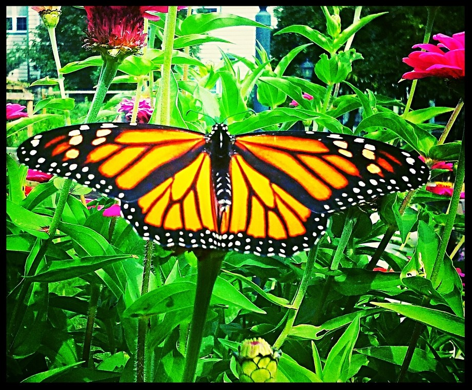 After patiently waiting through several flutters, this beauty stretched it's wings long ...