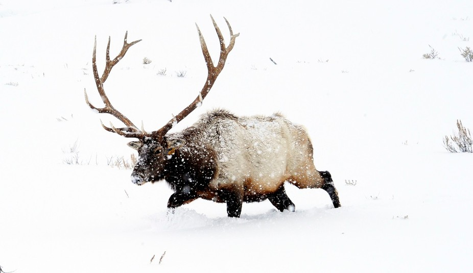 A couple of winters ago I saw this magnificent bull elk laboring in the snow in a whiteout condit...