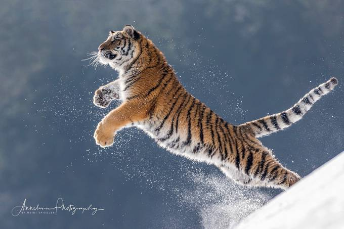 tiger power by Anneliese-Photography - Big Mammals Photo Contest
