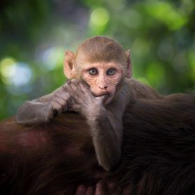 Spotted this Monkey who was awake while his mother was sleeping, He was playing very happily all by himself. As I went nearer to him he looked ve...