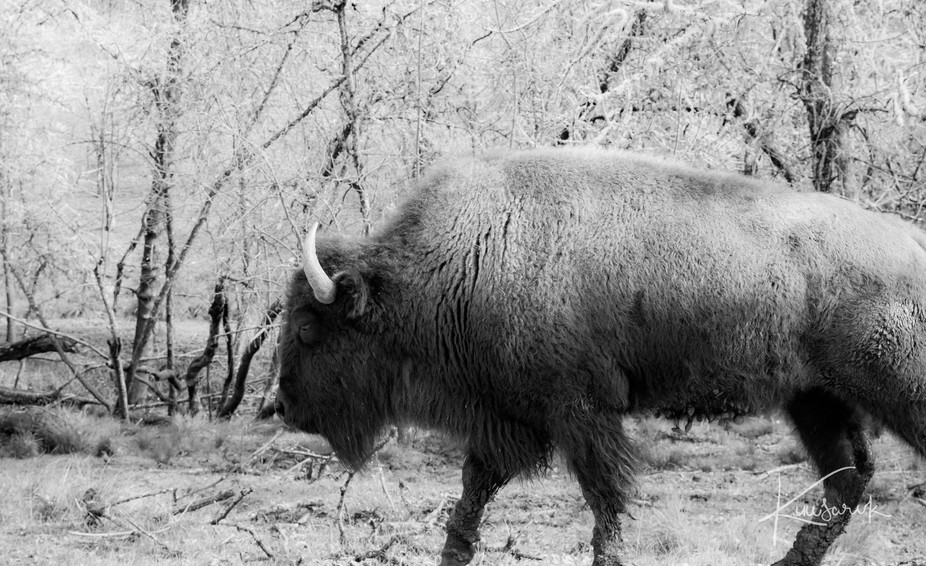 How do photograph a Bison in captivity and make it more exciting than seeing a Bison in captivity...