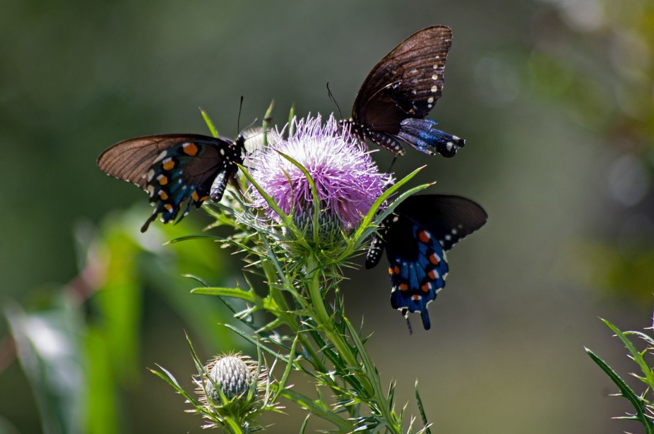 Three Pipevine Swallowtail Butterflies enjoy the sweet nectar of a Tall Thistle wildflower at You...