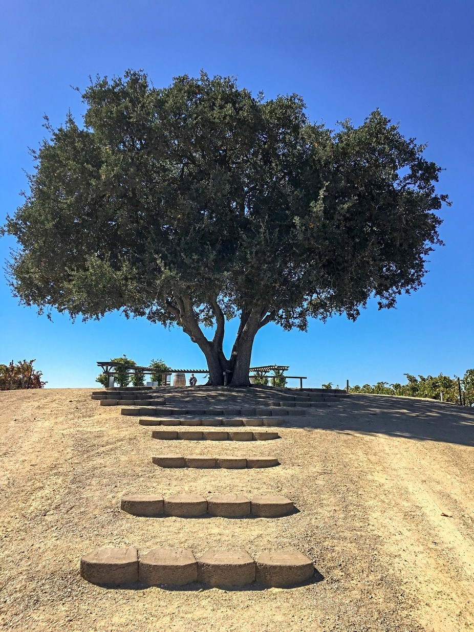 Lone tree in winery