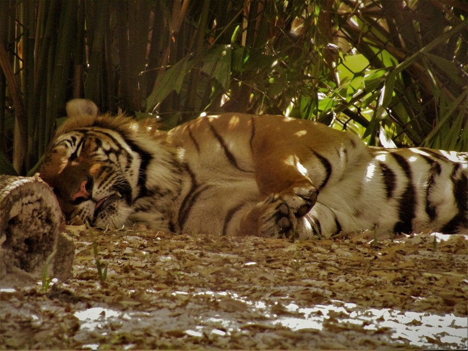 This beautiful Malayan tiger is no longer with us at the palm beach zoo.. She will be forever mis...