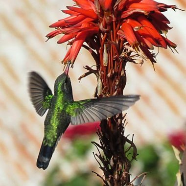 Hummingbird in San Miguel #1