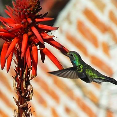 Hummingbird in San Miguel #2