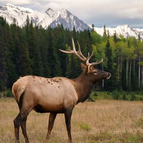An elk with the rockies in the background. Banff, Alberta, Canada