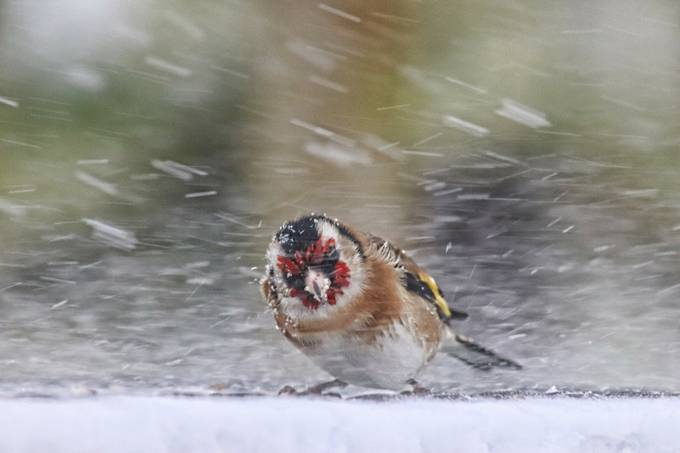 Goldfinch in a blizzard by JackieT - Wind In Nature Photo Contest