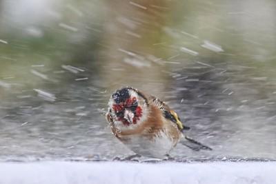 Goldfinch in a blizzard