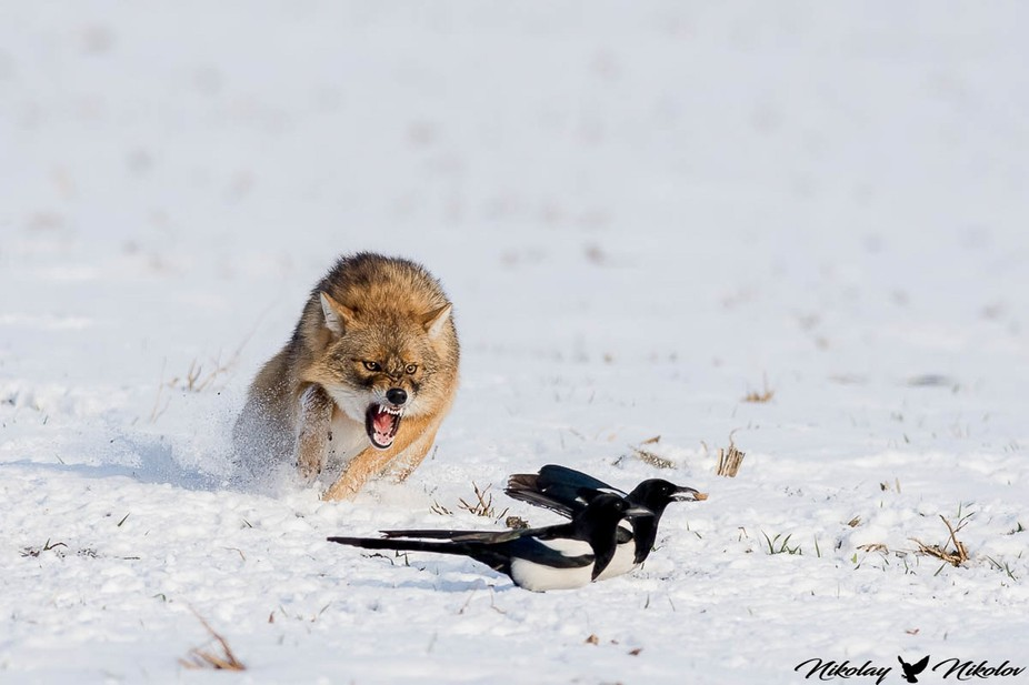 golden jackal angry