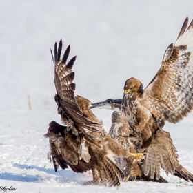 fight in snow