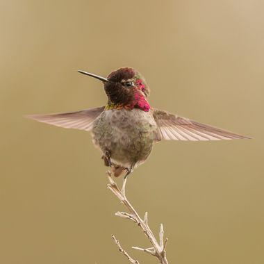 hymmingbird-1765