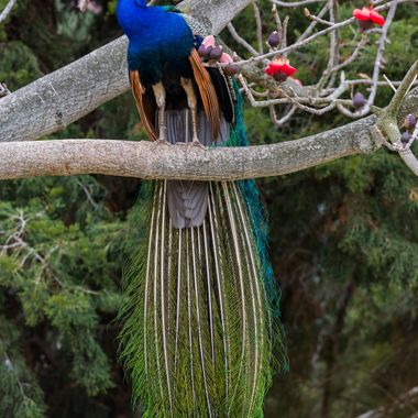 Peacock-1845