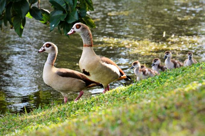 The Egyptian goose (Alopochen aegyptiaca) is a member of the duck, goose, and swan family Anatidae. It is native to Africa south of the Sahara and the Nile Valley.  Egyptian geese were considered sacred by the Ancient Egyptians, and appeared in much of their artwork. They have been raised for food and extensively bred in parts of Africa since they were domesticated by the ancient Egyptians. Because of their popularity chiefly as an ornamental bird, escapees are common and small feral populations have become established in Western Europe.[2][3] The Egyptian goose has escaped or been deliberately released in to Florida, USA, but there is no evidence that the population is breeding and may only persist due to continuing releases or escapes.[1]