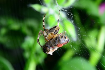 Spider with honey bee in her web