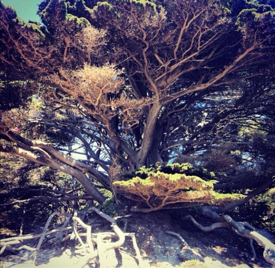 A low vanatage point of a tree in on the California Coast.