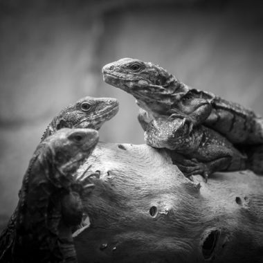 a trio of lizards close up in black and white