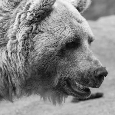 a detailed close up of a bears face in black and white