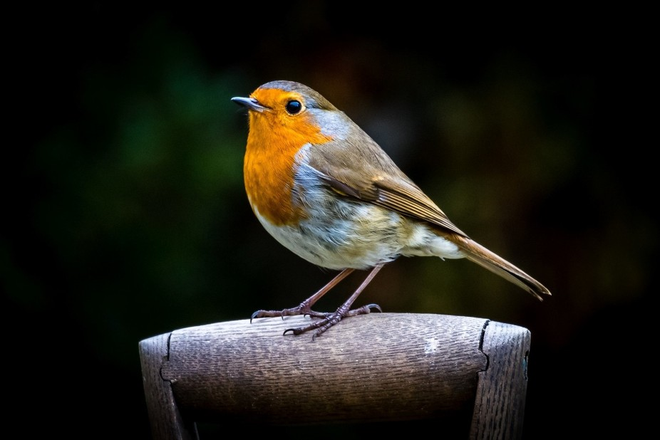 We are fortunate enough to have a whole family of Robins in the Garden, Mum & Dad having ...