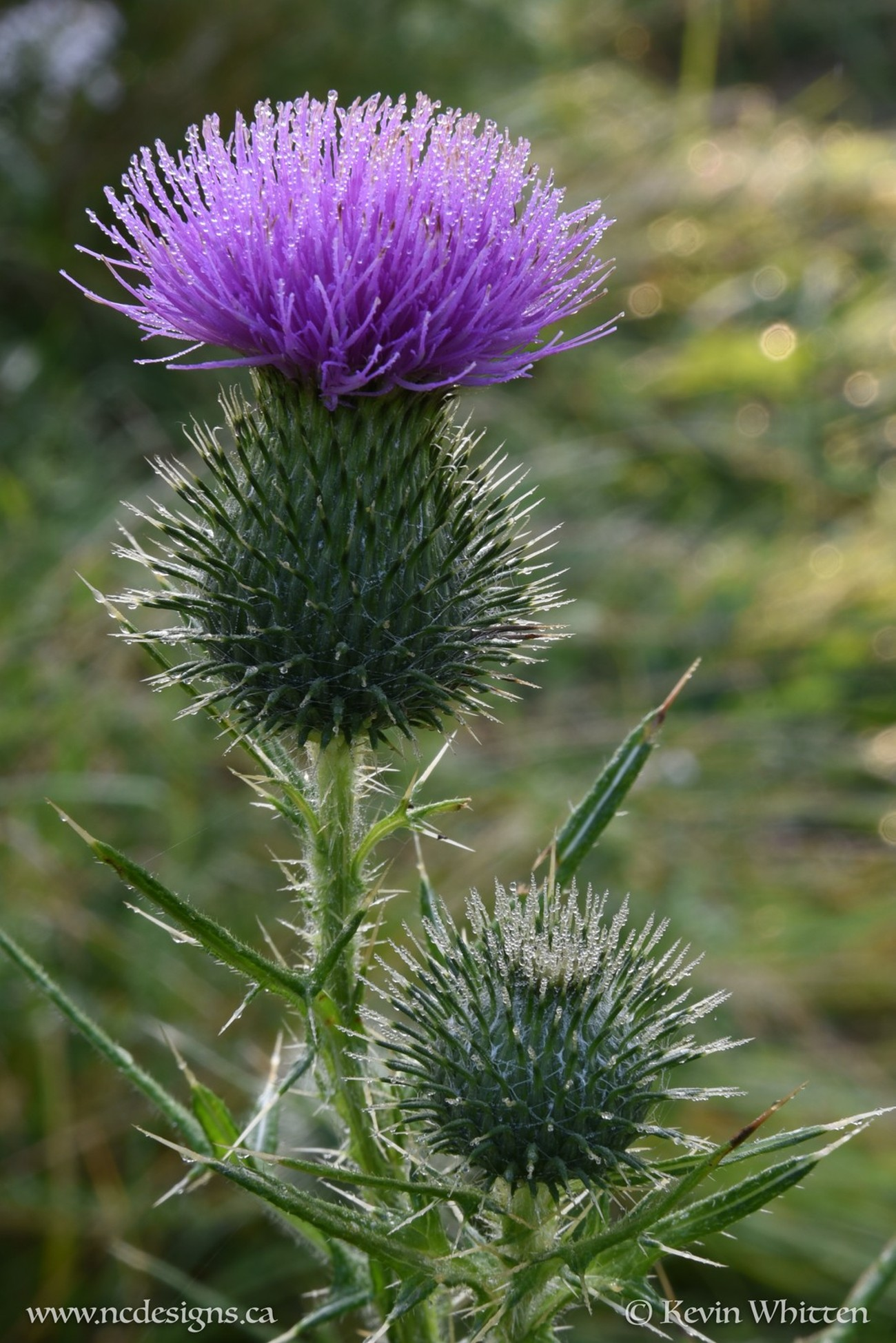 Glistening morning dew off a thistle flower