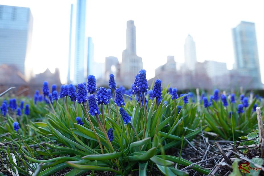 Hyacinth at Level