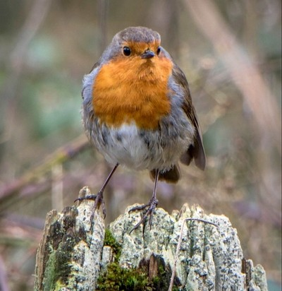A new Robin for 2018!
