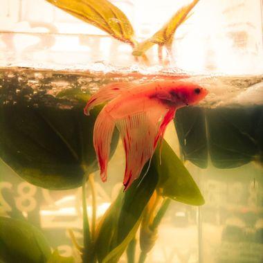 KBS Fish-15