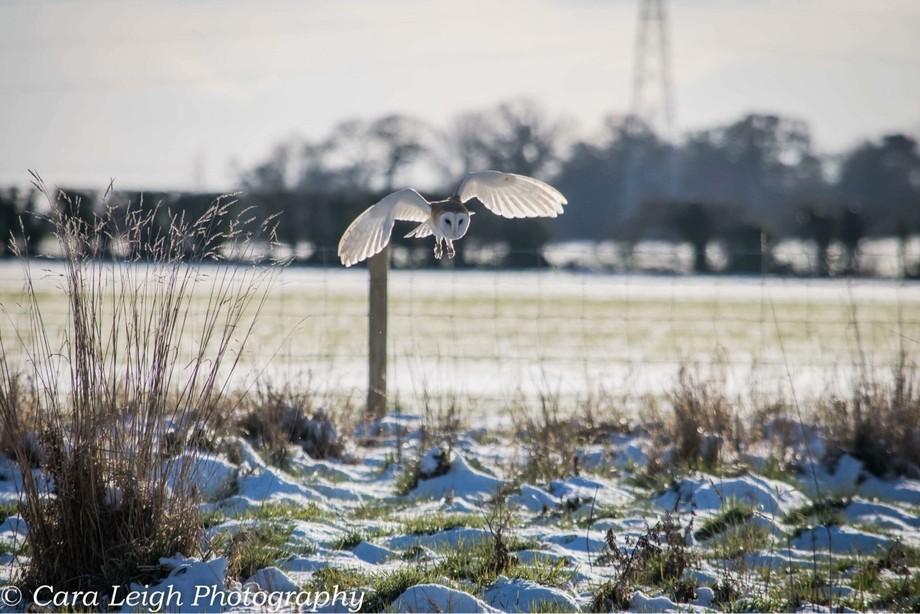 Barn Owl hunting.