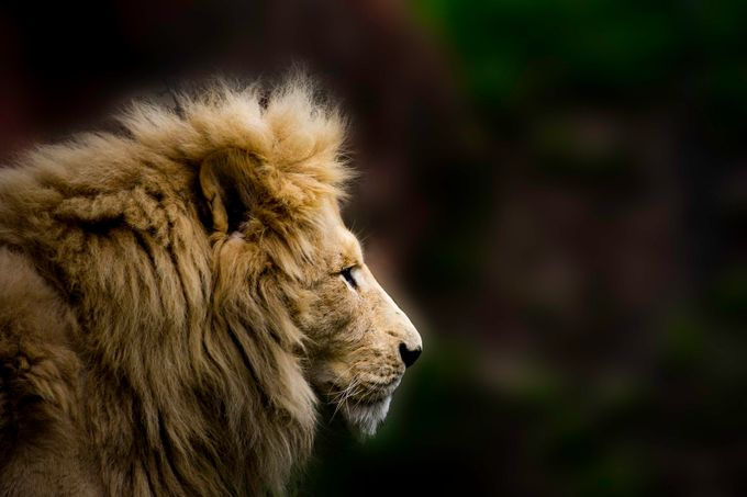 Lion by IanP - Covers Photo Contest Vol 46