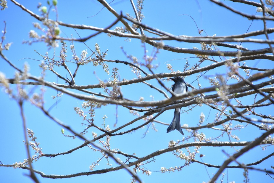 It was a mid-sunny day, where the white bellied drongo was hunting some bees on the tree which ca...