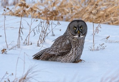 Great Gray Owl after a Dinner of Vole