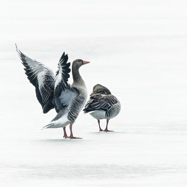 Couple of greylag goose on frozed lake.