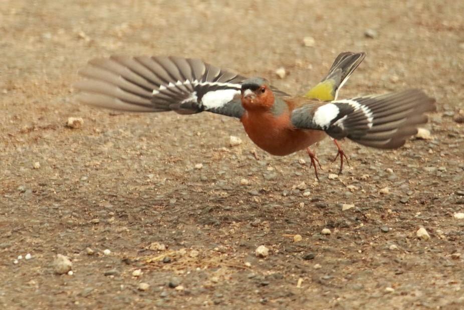 C'est le printemps, le mâle Pinson des arbres (Fringilla coelebs - Common Chaffinch) d�...