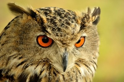 a  concentrated owl