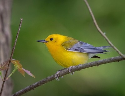 Out of the darkness along the Little Miami River bank, springs a flash of Gold.  The Prothonotary Warbler.