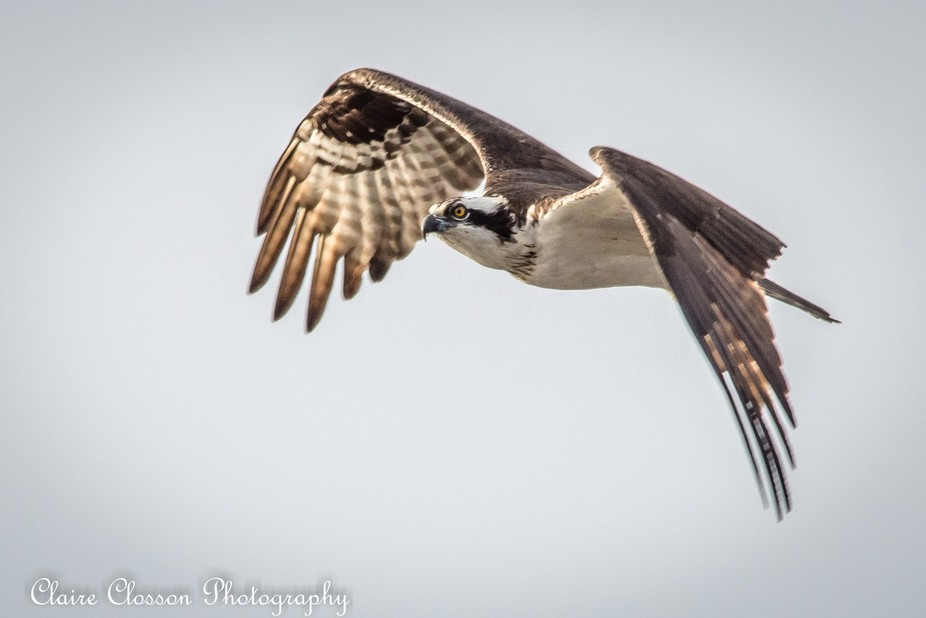 I stopped by the Sanford, FL waterfront one afternoon and the ospreys gave me quite a show. I lov...