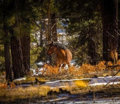 Ponderosa Winter Mustang