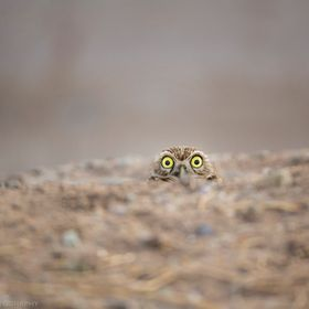I've revisited this particular Burrowing owl a handful of times. It always has this same expression every time...a true character!