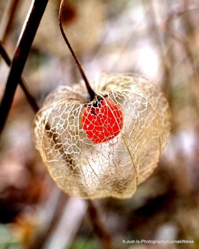 Lampion flower seed,