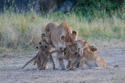 Lioness Greets Cubs