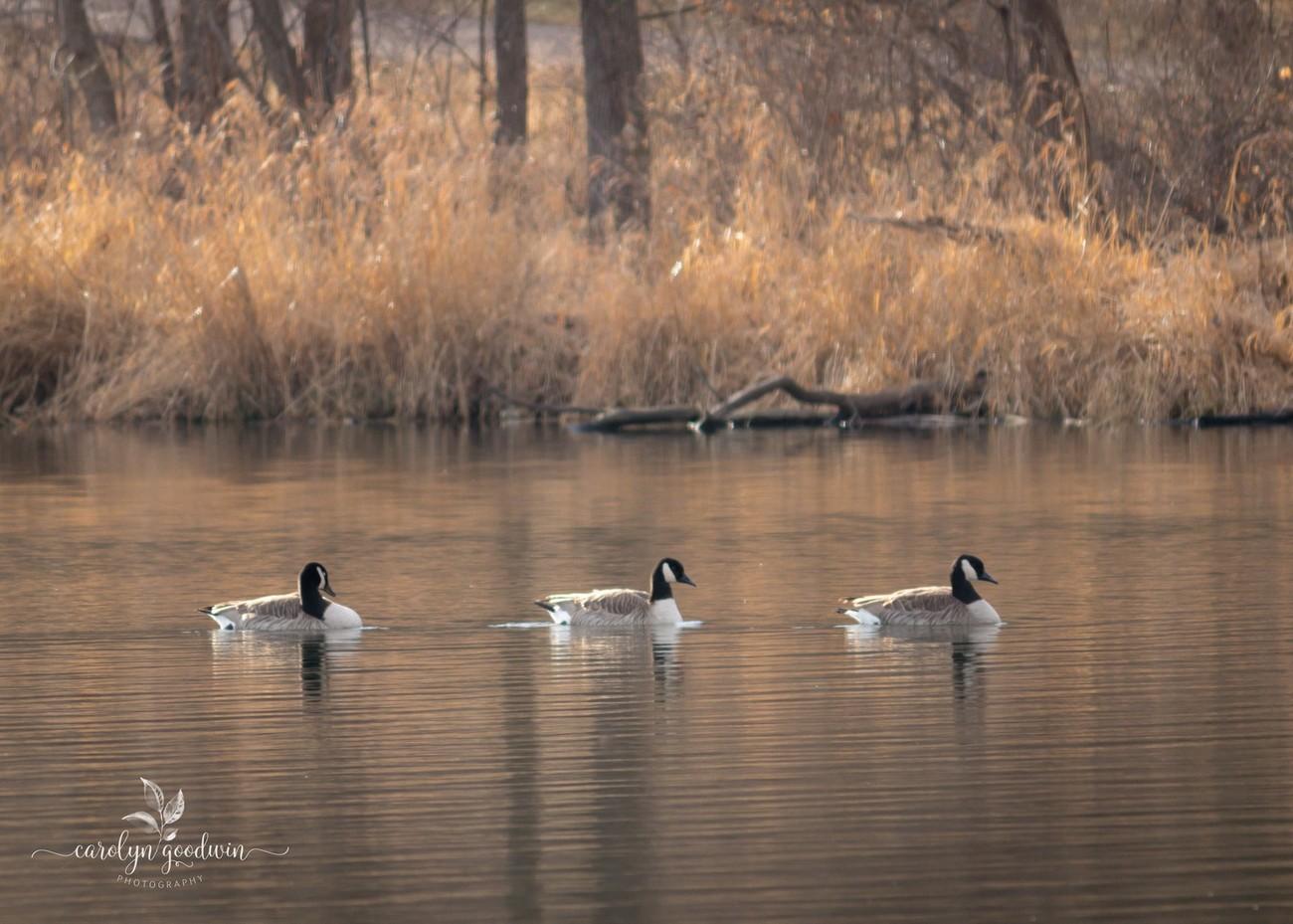 A Goose Trio