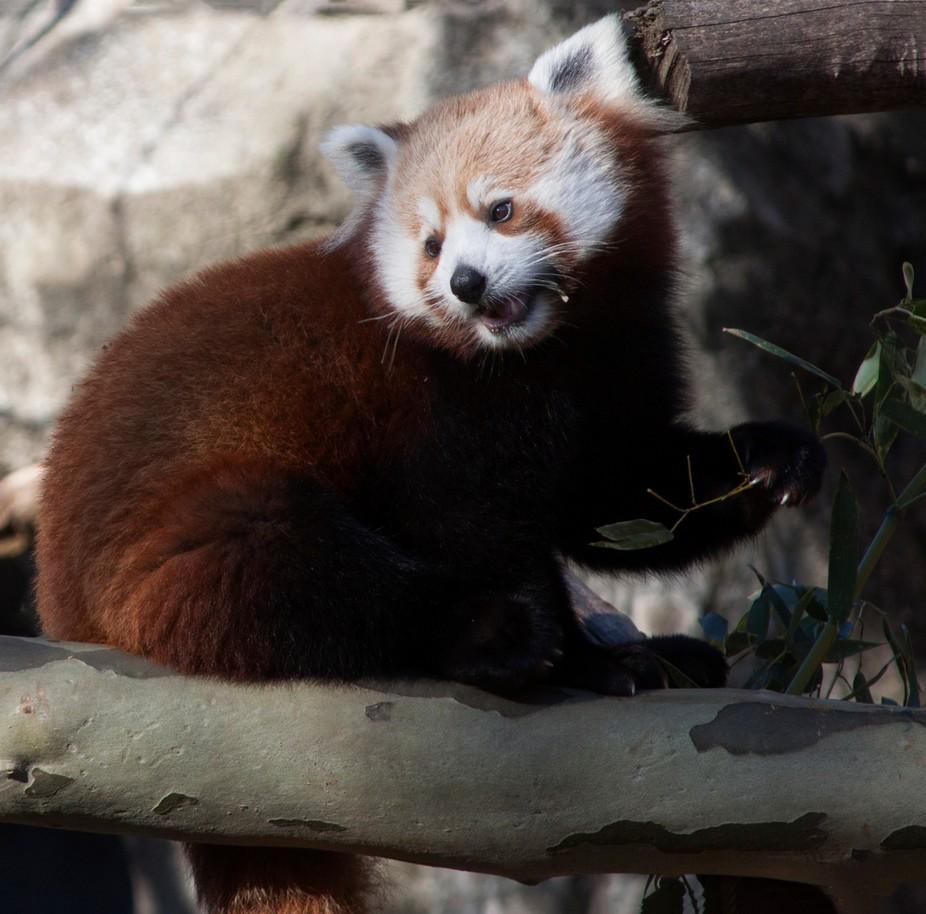 Red Panda eating Eucalyptus