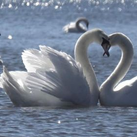 I watched these swans flirt with each other on a cold winter's day.